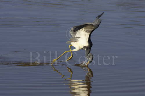 Tricoloured Heron 'Dip Feeding'