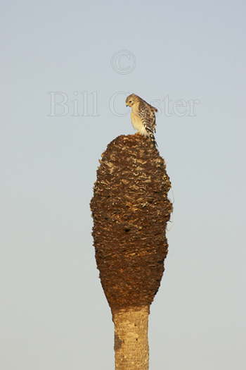 Red Shouldered Hawk - On Matchstick!