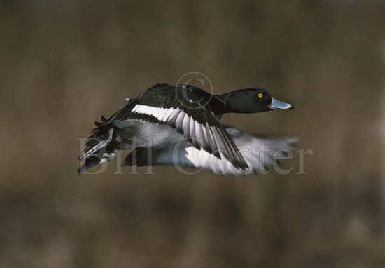 Tufted Duck Taking Off