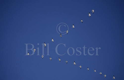 Snow Geese - Classic V Formation