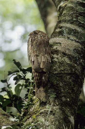 Long Tailed Potoo