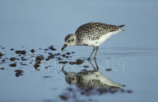 Grey Plover with Fish