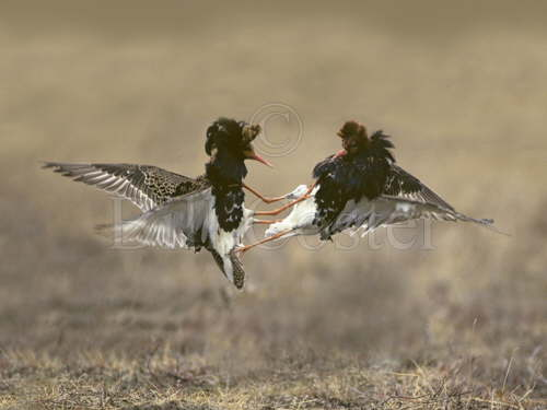 Ruff Fighting on Lek