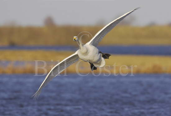 Whooper Swan Flight