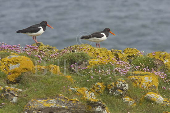 Oystercatchers on Sea Cliffs