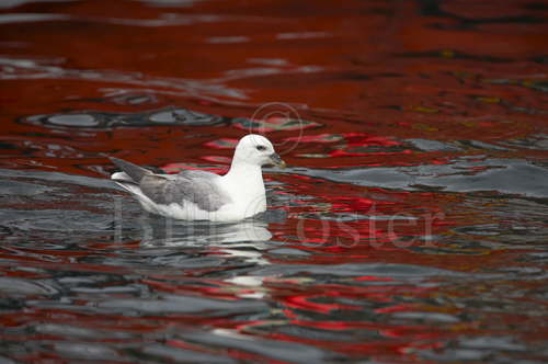 Fulmar and Red Water