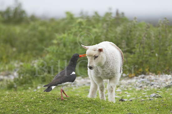 Oystercatcher Attacking Lamb