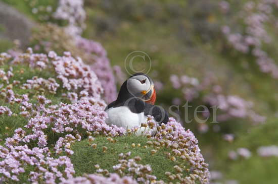Puffin and Thrift