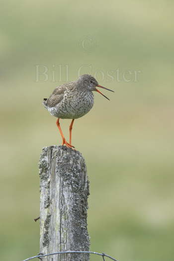 Redshank on Post