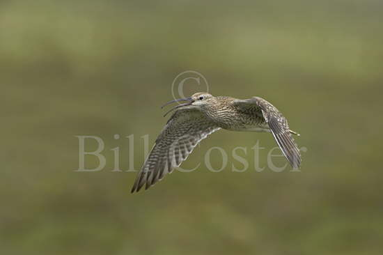 Whimbrel calling in flight
