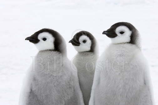 Three Wise Penguins...