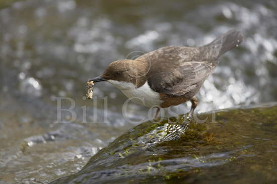Dipper with Caddis Fly Larvae