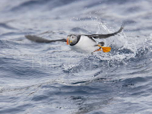 Puffin Taking Off from Sea