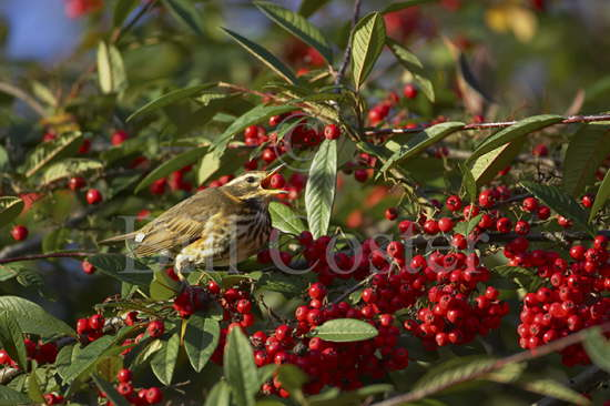 Redwing Eating Berries
