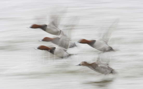 Pochard Flight Blur