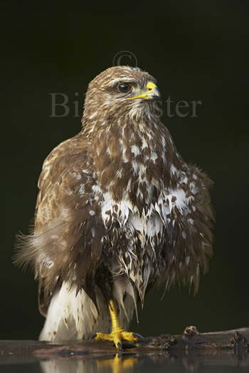 Buzzard at Pool