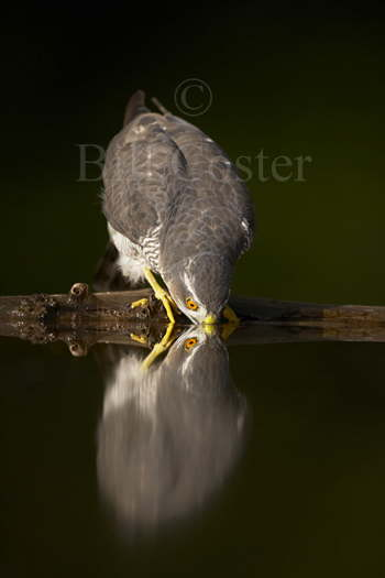 Sparrowhawk Drinking