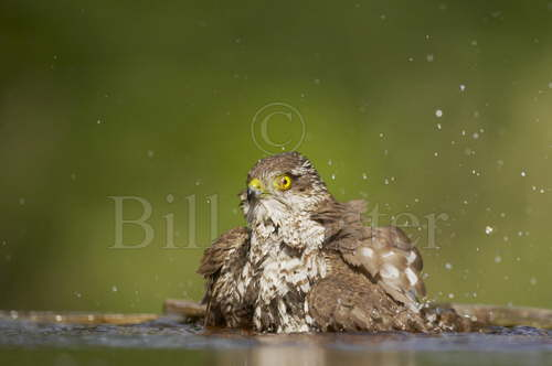 Sparrowhawk Washing