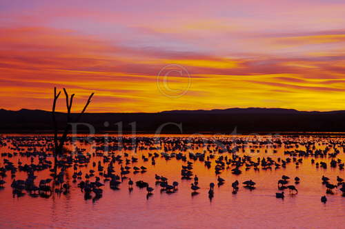 Snow Geese - Roost Site at Dawn