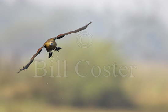 Lesser Whistling Duck flight