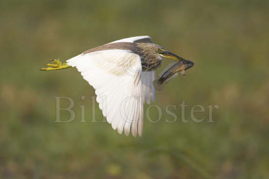 Pond Heron with fish