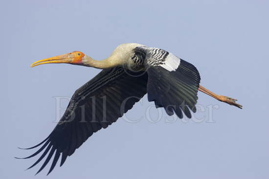 Painted Stork flight