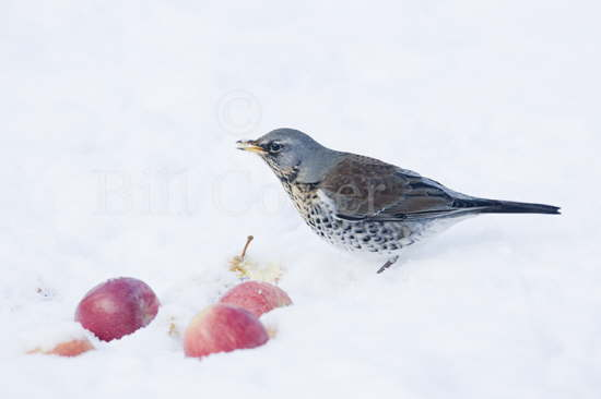 Fieldfare with Apples