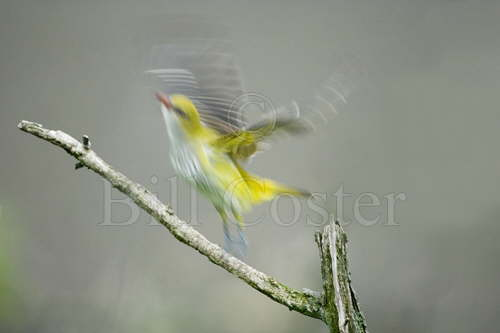 Golden Oriole Liftoff