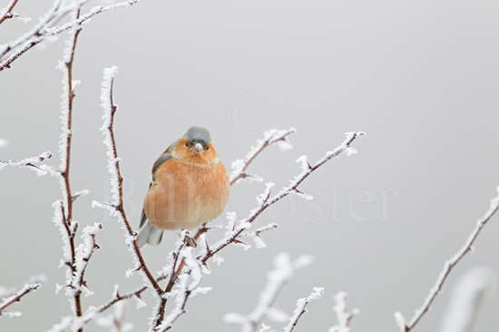 Chaffinch and Hoar Frost