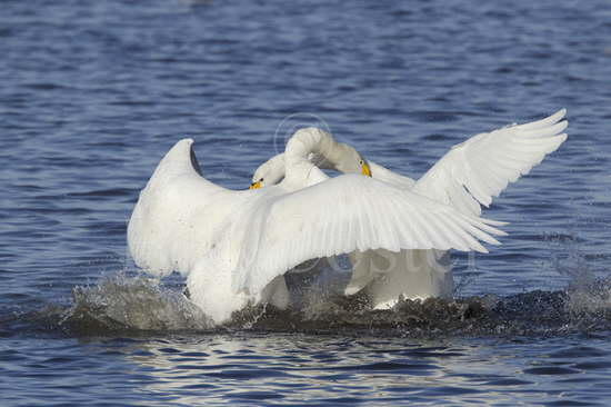 Whooper Swan Fight
