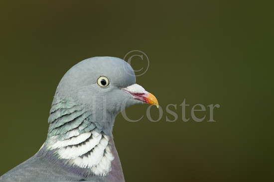 Woodpigeon Close Up