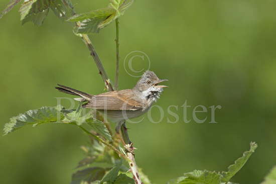 Whitethroat Singing