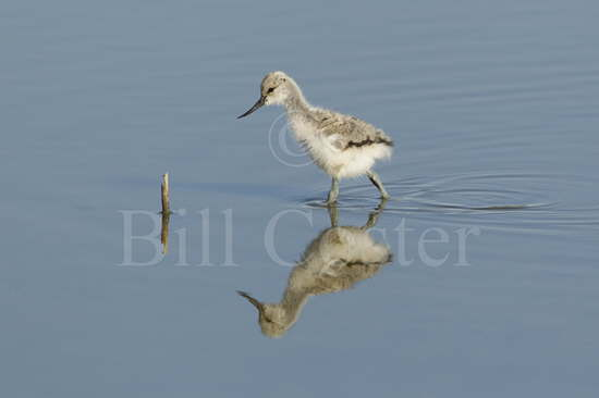 Avocet Chick Reflection