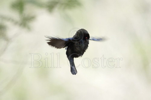 Bronzed Cowbird - display flight