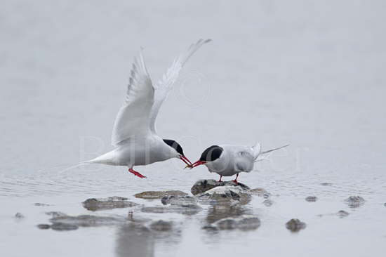 Arctic Tern Food Pass