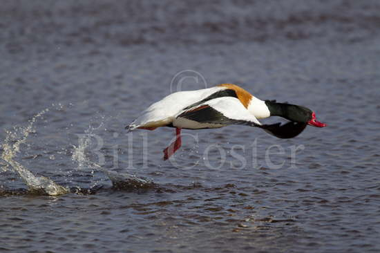 Shelduck Take Off