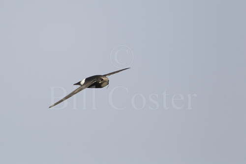 Little Swift with nesting material