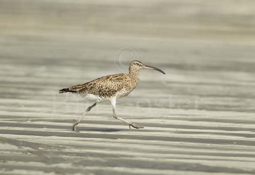Whimbrel running on beach