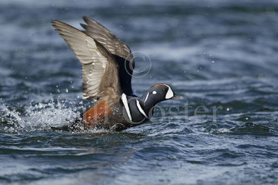 Harlequin Duck Paddlesteaming
