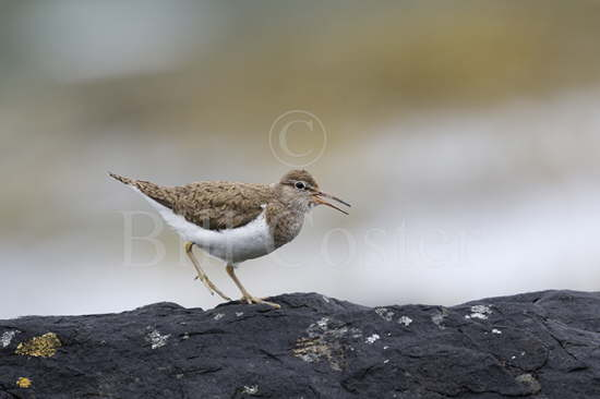 Common Sandpiper Calling