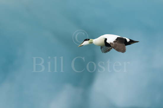 Common Eider & Blue Iceberg