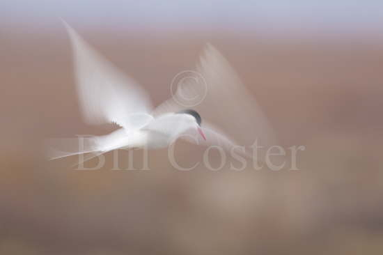 Arctic Tern Hover