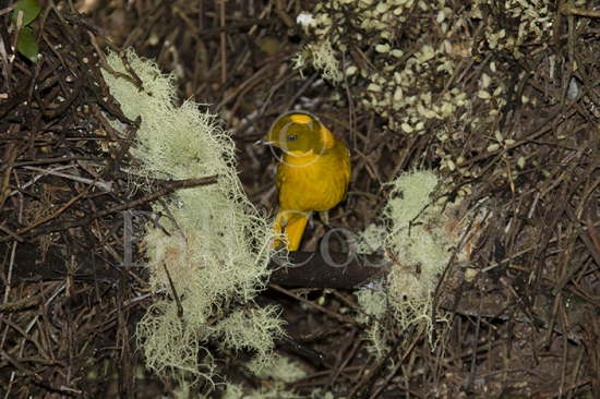 Golden Bowerbird at Bower