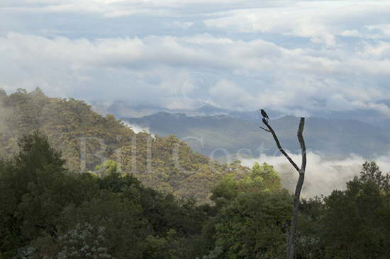 Pied Currawong & Mountains