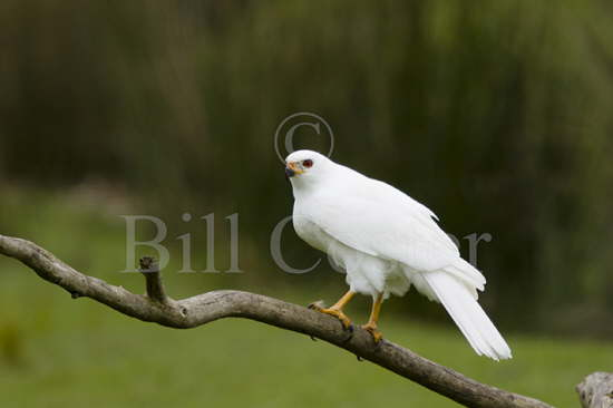 Grey Goshawk white morph