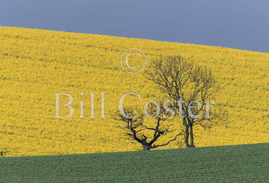 Rape Fields and Trees Essex