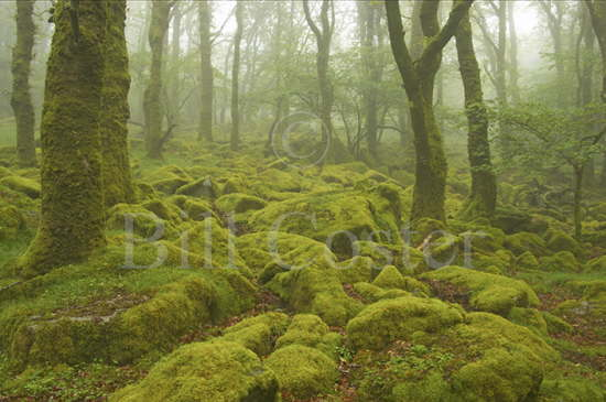 Oak Woodland and Boulders Wales