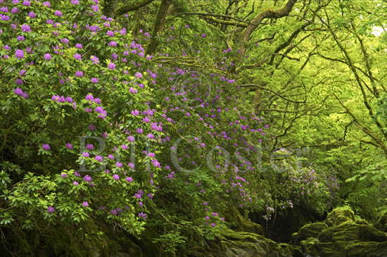 Rhododendron Scrub Wales