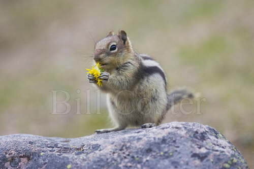 Golden Mantled Ground Squirrel feeding