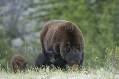 Black Bear Mother & Cubs